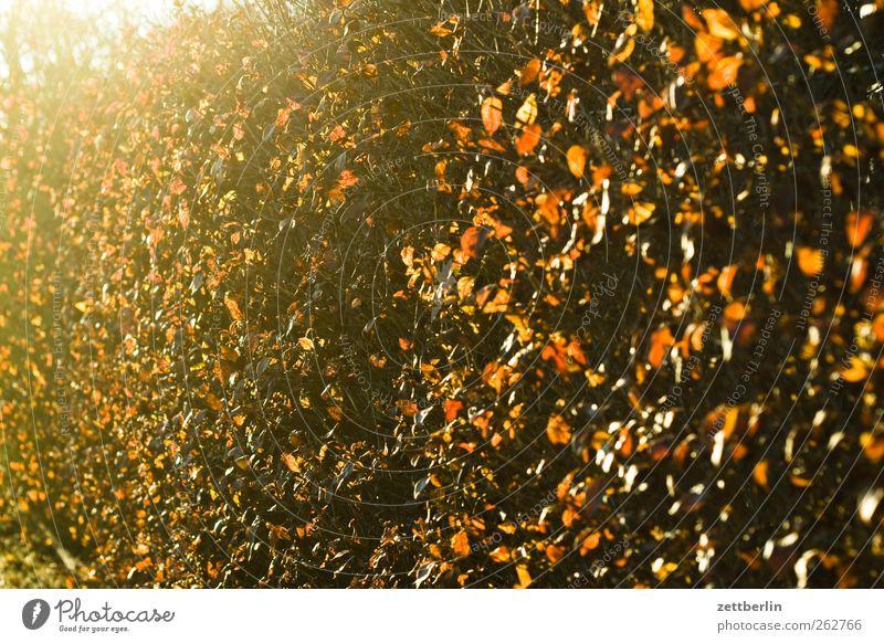 Hecke Umwelt Pflanze Sonnenlicht Frühling Wetter Schönes Wetter Wachstum Gegenlicht strahlend Farbfoto Außenaufnahme Detailaufnahme Menschenleer