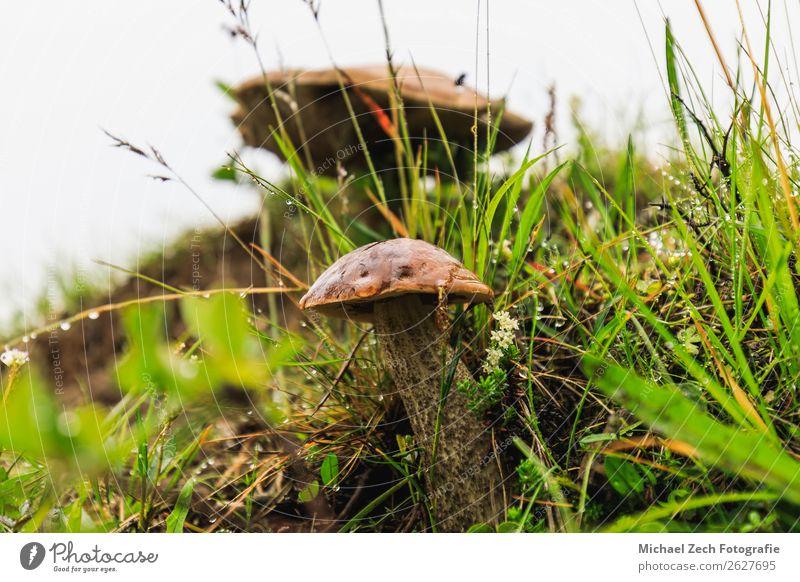Wilde weiße Pilze in grünem Gras im Sommer schön Ferien & Urlaub & Reisen Abenteuer wandern Hand Umwelt Natur Landschaft Pflanze Blume Wald frisch klein