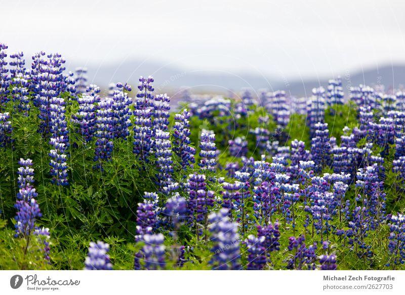 Lupinenblüten Feld schön Sightseeing Sommer Insel Berge u. Gebirge Natur Landschaft Pflanze Himmel Frühling Blume Blüte Wiese Alpen Seeufer neu blau grün rosa