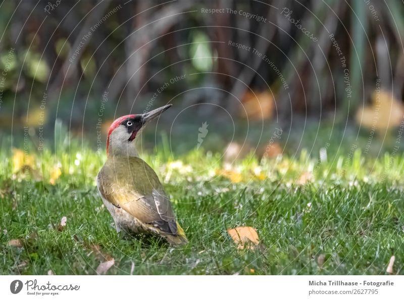 Grünspecht auf der Wiese Natur Tier Sonne Sonnenlicht Schönes Wetter Gras Blatt Wildtier Vogel Tiergesicht Flügel Auge Schnabel Feder 1 beobachten Fressen