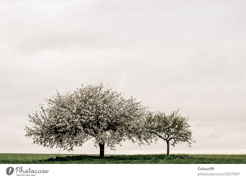 Apfelbaum mit Blüten Natur Wolkenloser Himmel Frühling Baum springen weiß Deutschland Hessen apfelbäume Landschaft Blütenknospen Wachstum Landwirtschaft Gras