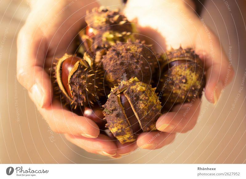 eine Hand voll Herbst Mensch feminin Frau Erwachsene Finger 1 45-60 Jahre Natur Kastasnien festhalten außergewöhnlich braun Kastanie Makroaufnahme Farbfoto