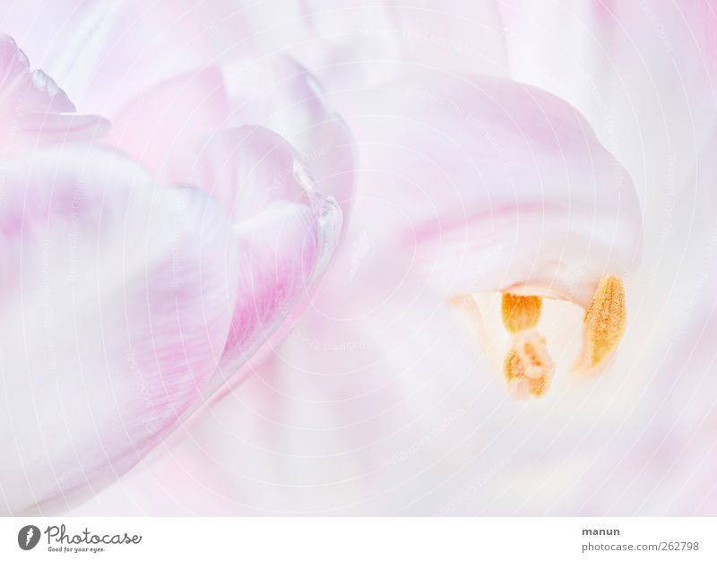 rosa tulpen Natur Blume Frühling Blüte hell natürlich Tulpe Frühlingsgefühle
