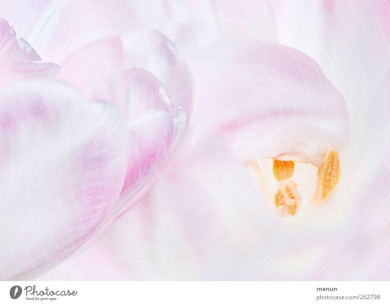 rosa tulpen Natur Blume Frühling Blüte hell rosa natürlich Tulpe Frühlingsgefühle