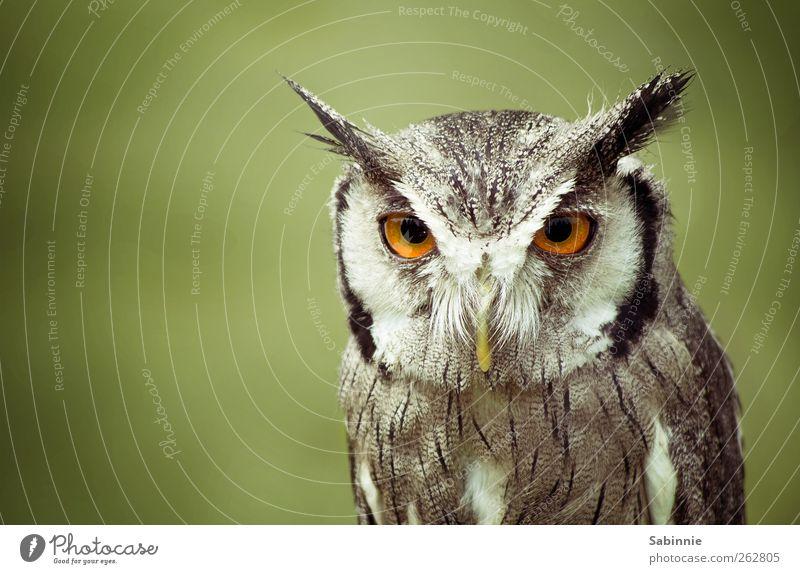 Death Stare. grün Tier ruhig Auge grau braun Vogel Wildtier Feder beobachten Ohr Wachsamkeit böse Schnabel bewegungslos intensiv