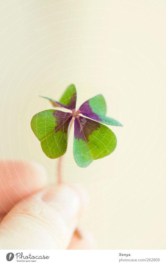 Glück Pflanze Blatt Kleeblatt grün Hoffnung vierblättrig Wunsch Glücksbringer haltend zeigen 1 Textfreiraum oben Detailaufnahme Schwache Tiefenschärfe