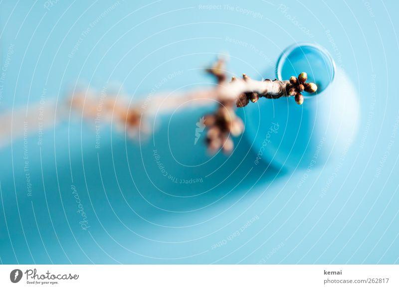 Frühling in der Vase blau schön Pflanze Wachstum türkis Zweig Blütenknospen hell-blau Frühlingsgefühle
