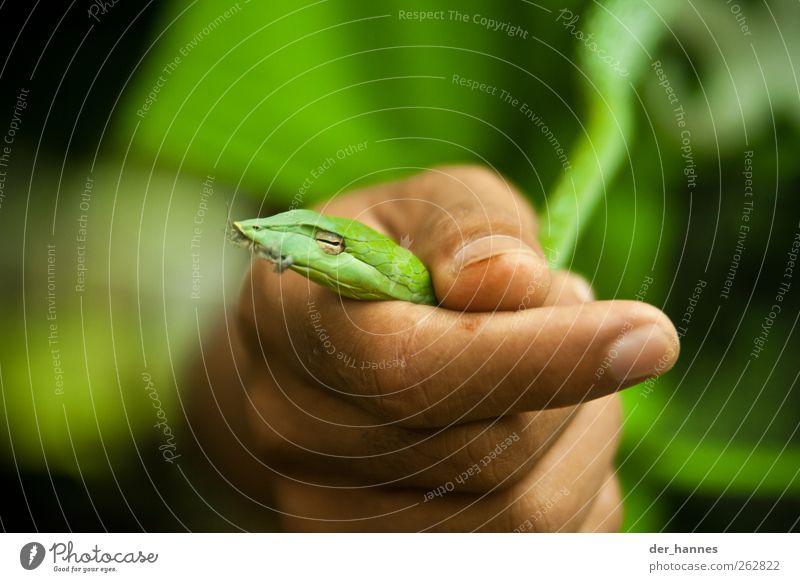 Klein-Nagini Hand grün schön Tier Umwelt klein Wildtier Feder festhalten Tiergesicht fangen zeigen exotisch Fressen Schlange Maul