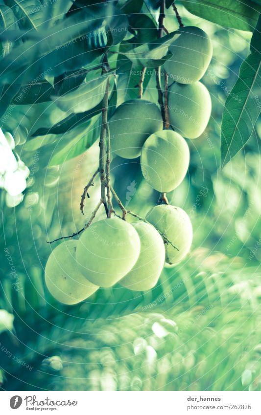 O Lebensmittel Frucht Umwelt Natur Pflanze Baum Grünpflanze exotisch Mango hängen grün Farbfoto mehrfarbig Außenaufnahme Nahaufnahme Detailaufnahme Menschenleer