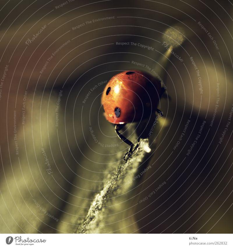 Glücksbringer Umwelt Natur Tier Garten Haustier Wildtier Käfer Marienkäfer 1 krabbeln klein Frühlingsgefühle Farbfoto Gedeckte Farben Außenaufnahme