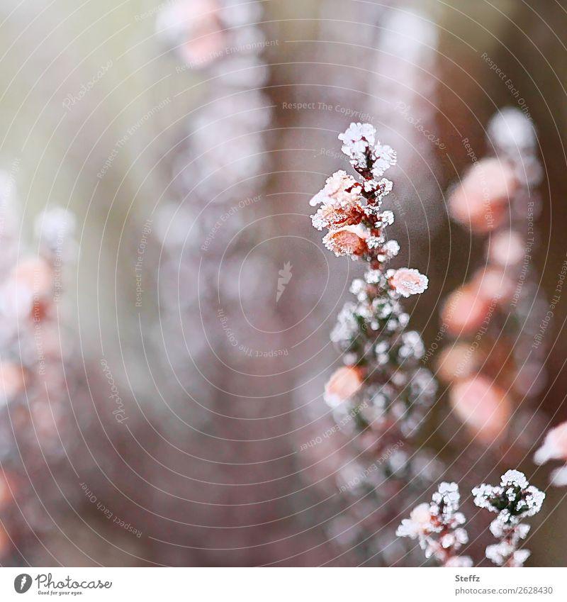 kalt erwischt Natur Pflanze Herbst Winter Klima Wetter Eis Frost Wildpflanze Bergheide Calluna Heide Blühend frieren grau rosa weiß Winterstimmung