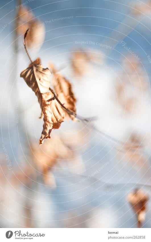 Übrig Umwelt Natur Pflanze Sonnenlicht Herbst Winter Schönes Wetter Eis Frost Baum Sträucher Blatt Buche Buchenblatt hängen alt trocken verdorrt Farbfoto