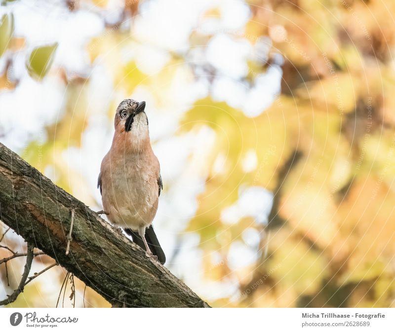 Wachsamer Eichelhäher Natur grün Baum Tier Wald gelb orange Vogel Wildtier stehen Feder Schönes Wetter Flügel beobachten Hinweisschild Neugier
