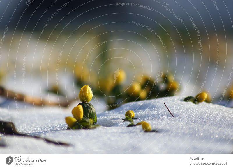Überlebenskünstler Umwelt Natur Landschaft Pflanze Urelemente Winter Eis Frost Blume Blüte Wildpflanze Garten Park Coolness hell kalt nah natürlich gelb grün