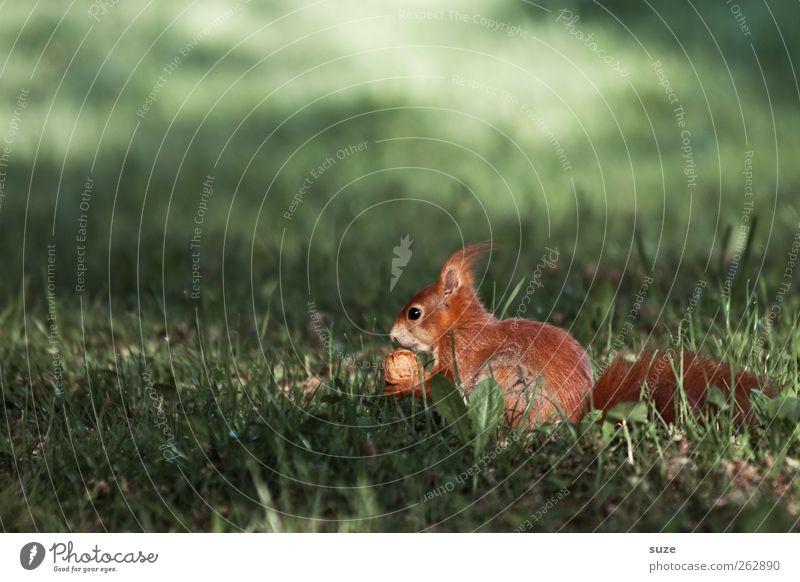 Nussdieb Umwelt Natur Pflanze Tier Gras Wiese Fell Wildtier 1 Fressen füttern sitzen authentisch schön klein niedlich grün rot Tierliebe Walnuss Eichhörnchen