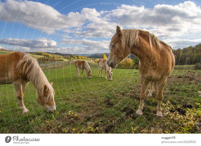 Pferde auf Koppel Umwelt Natur Landschaft Pflanze Tier Sonnenlicht Frühling Sommer Herbst Schönes Wetter Gras Sträucher Wiese Feld Hügel Haustier Nutztier 4