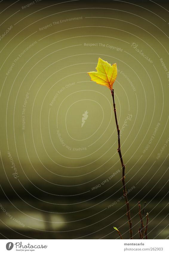 Das ist eine Platane Umwelt Natur Pflanze Herbst Schönes Wetter Baum Blatt Grünpflanze Wildpflanze Balkon dünn einfach hoch klein natürlich trocken Wärme gelb