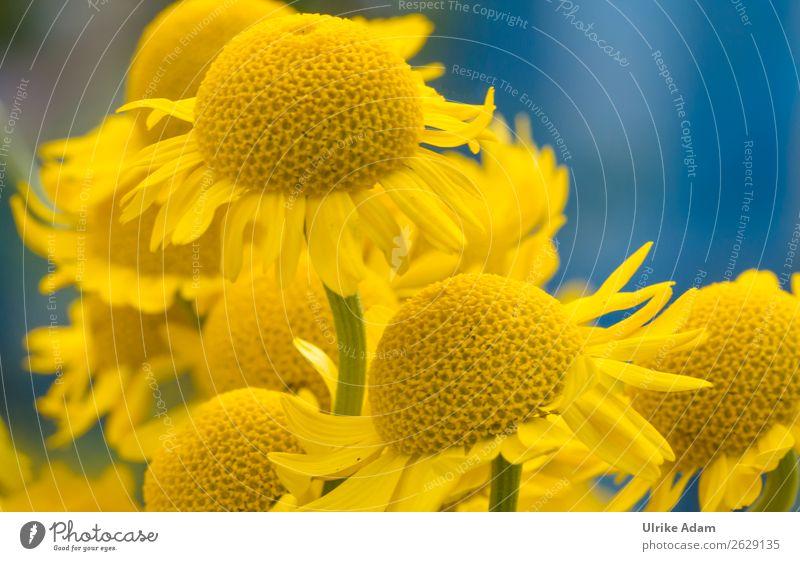 Gelbe Blumen Färberkamille (Anthemis tinctoria ) Natur Sommer Pflanze Farbe Erholung ruhig Herbst gelb Blüte Frühling Wiese Garten Zufriedenheit