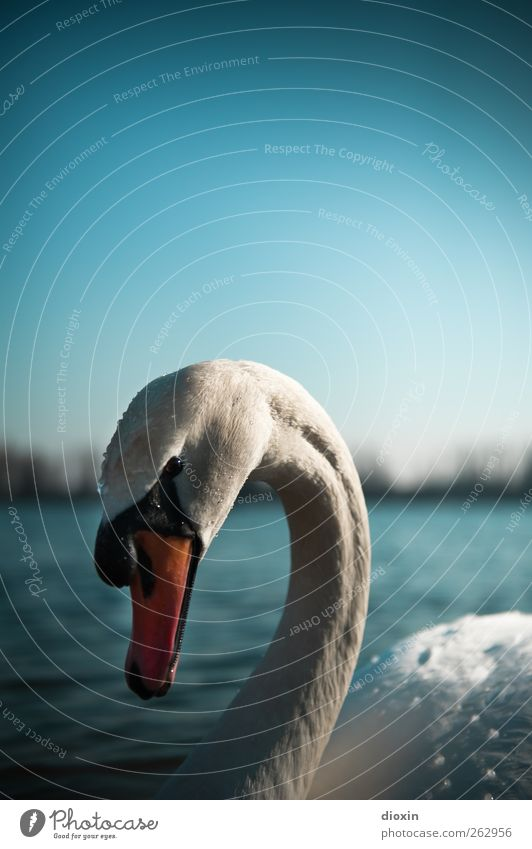 Anmut Umwelt Natur Wasser Himmel Wolkenloser Himmel Schönes Wetter Seeufer Flussufer Teich Tier Wildtier Vogel Schwan Höckerschwan 1 Blick ästhetisch elegant