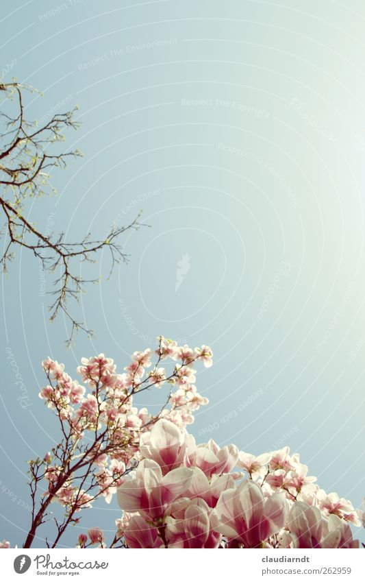 Magnolia Himmel Natur blau Pflanze schön weiß Frühling Blüte Garten rosa Park ästhetisch Blühend Schönes Wetter zart Wolkenloser Himmel