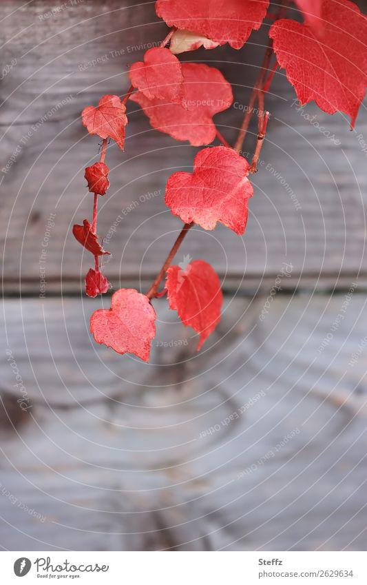 all the red hearts Valentinstag Natur Pflanze Herbst Blatt Wildpflanze Weinblatt Herbstlaub Garten Holz natürlich schön rot Verliebtheit Romantik Herbstgefühle