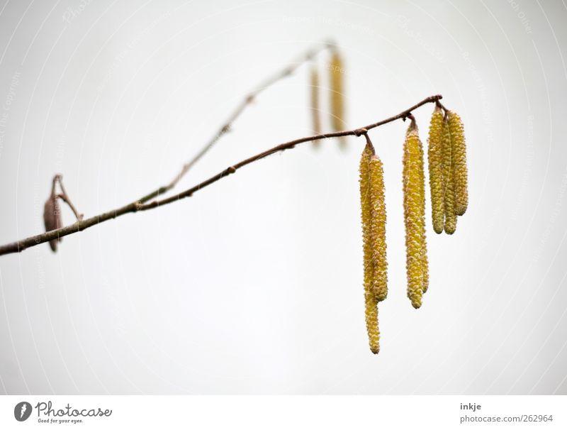 gelb Natur Pflanze Frühling Sommer Herbst Winter Baum Sträucher Blüte Wildpflanze Birke Samen Park Menschenleer hängen dünn einfach lang natürlich trist Umwelt