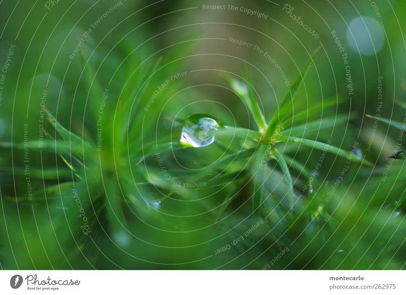 Verbundenheit Umwelt Natur Pflanze Gras Moos Blatt Grünpflanze Wildpflanze ästhetisch dünn authentisch kalt nah nass natürlich Sauberkeit stachelig wild grün