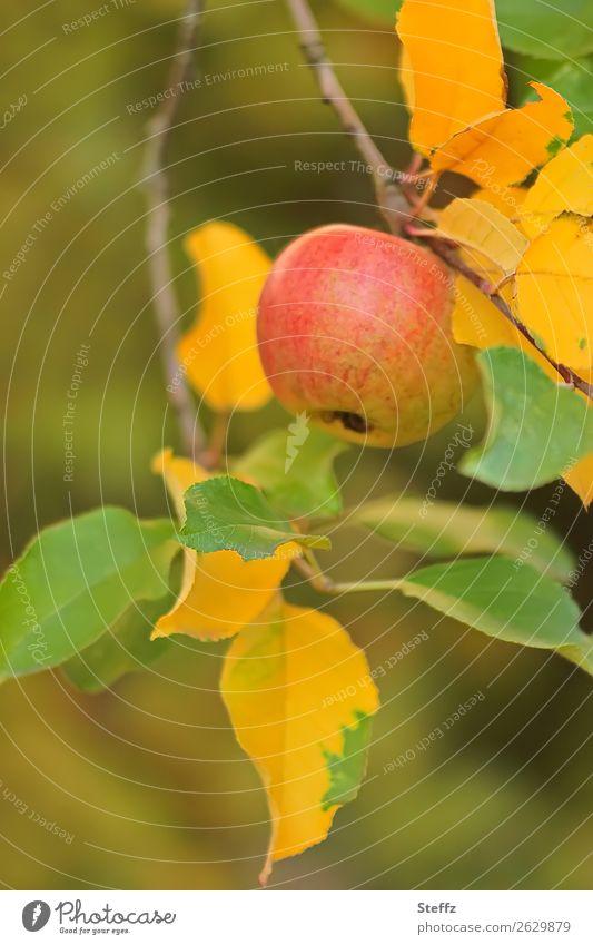 Apfel im Herbst Äpfel Obst Frucht Bio Apfelbaum Garten Obstgarten Herbstgefühle Oktober Herbstfärbung Apfelernte Bioprodukte herbstlich Herbstgarten Gartenobst