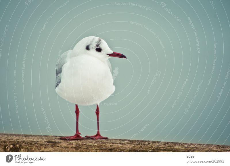 Ein Ständchen für Dexter Umwelt Natur Tier Himmel Wildtier Vogel Möwe Möwenvögel 1 Holz stehen warten kalt klein niedlich blau weiß Feder ruhig Rotschnabelmöwe