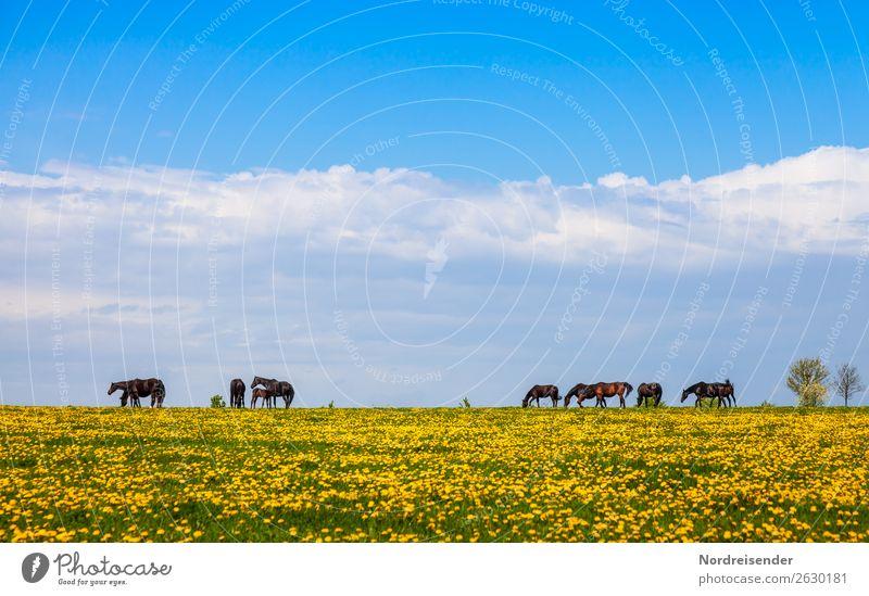 Pferde auf der Weide im Frühling Ferien & Urlaub & Reisen Landwirtschaft Forstwirtschaft Natur Landschaft Himmel Wolken Sommer Schönes Wetter Blume Gras