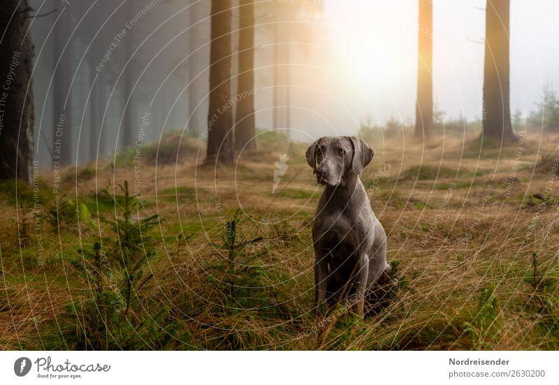 Im Nebelwald Jagd Ausflug wandern Natur Landschaft Urelemente Sonne Sonnenlicht Klima Baum Gras Moos Wald Tier Haustier Hund beobachten warten dunkel