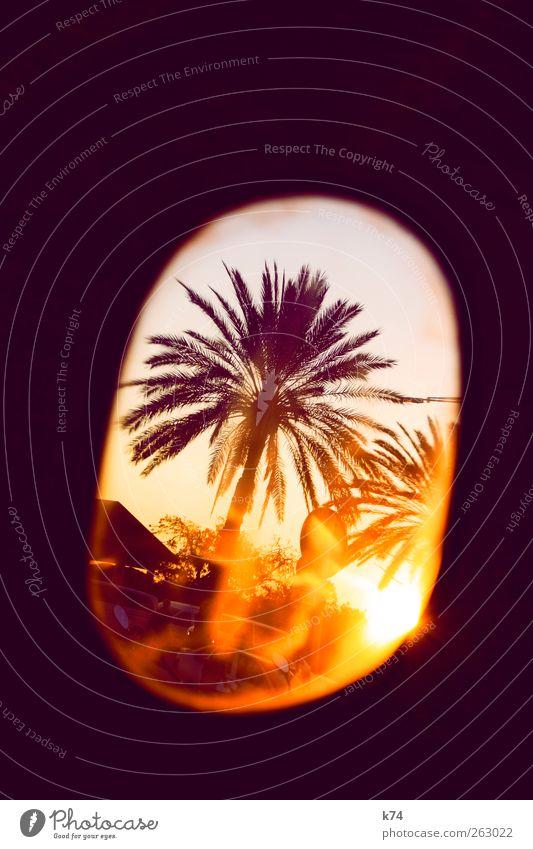 sunset at the palms Baum Palme leuchten Wärme gelb violett Farbfoto mehrfarbig Außenaufnahme Menschenleer Textfreiraum oben Abend Dämmerung Licht Schatten
