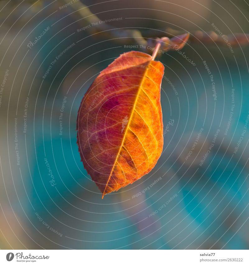 leuchtendes Blatt im Herbst Natur Pflanze Makroaufnahme Herbstfärbung Blattadern orange gelb hellblau Schwache Tiefenschärfe Herbstlaub Detailaufnahme