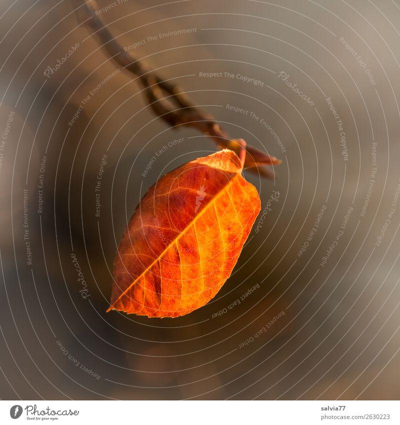 letztes Blatt Umwelt Natur Herbst Pflanze Herbstfärbung leuchten Wärme braun gelb orange Vergänglichkeit Wandel & Veränderung Blattadern Außenaufnahme