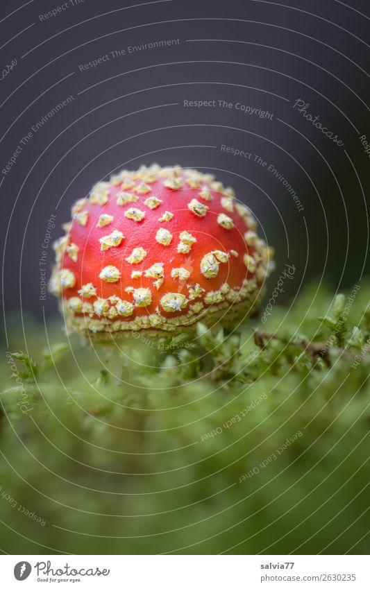 Glückspilz Umwelt Natur Pflanze Herbst Moos Pilz Fliegenpilz Wald leuchten Wachstum ästhetisch positiv weich ruhig Kontrast Glücksbringer Märchen Farbfoto