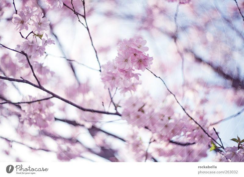 frühling ist. Natur schön Baum Pflanze Frühling Blüte rosa Kirschblüten Kirschbaum
