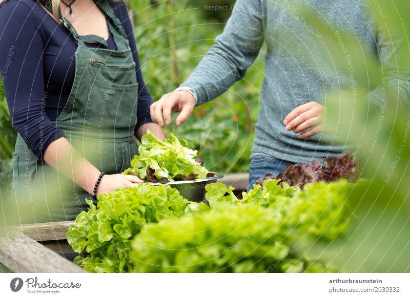 Mann und Frau beim Salat ernten vom Hochbeet im Garten Mensch Natur Jugendliche Gesunde Ernährung Junge Frau Pflanze Junger Mann Gesundheit 18-30 Jahre