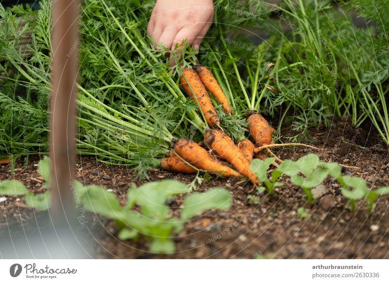 Bauer bei der Karottenernte von frischen Karotten im Freien Lebensmittel Gemüse Möhre Ernährung Bioprodukte Vegetarische Ernährung Slowfood Gesunde Ernährung