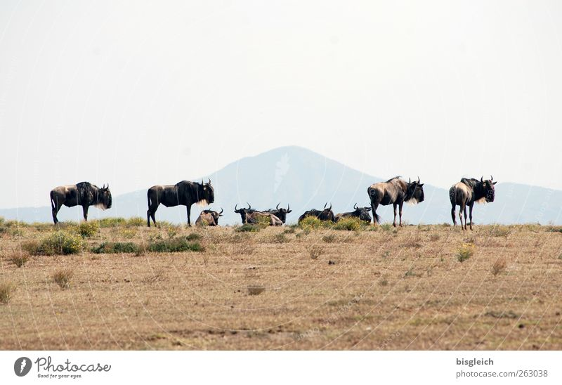 Gnus Crescent Island Kenia Afrika Tier Wildtier Tiergruppe stehen braun Farbfoto Außenaufnahme Menschenleer Textfreiraum oben Textfreiraum unten Tag