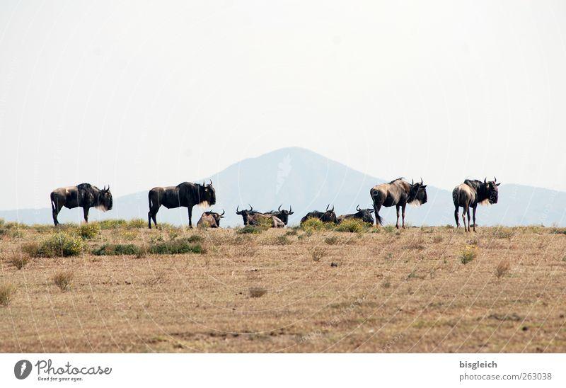 Gnus Tier braun Wildtier stehen Tiergruppe Afrika Kenia