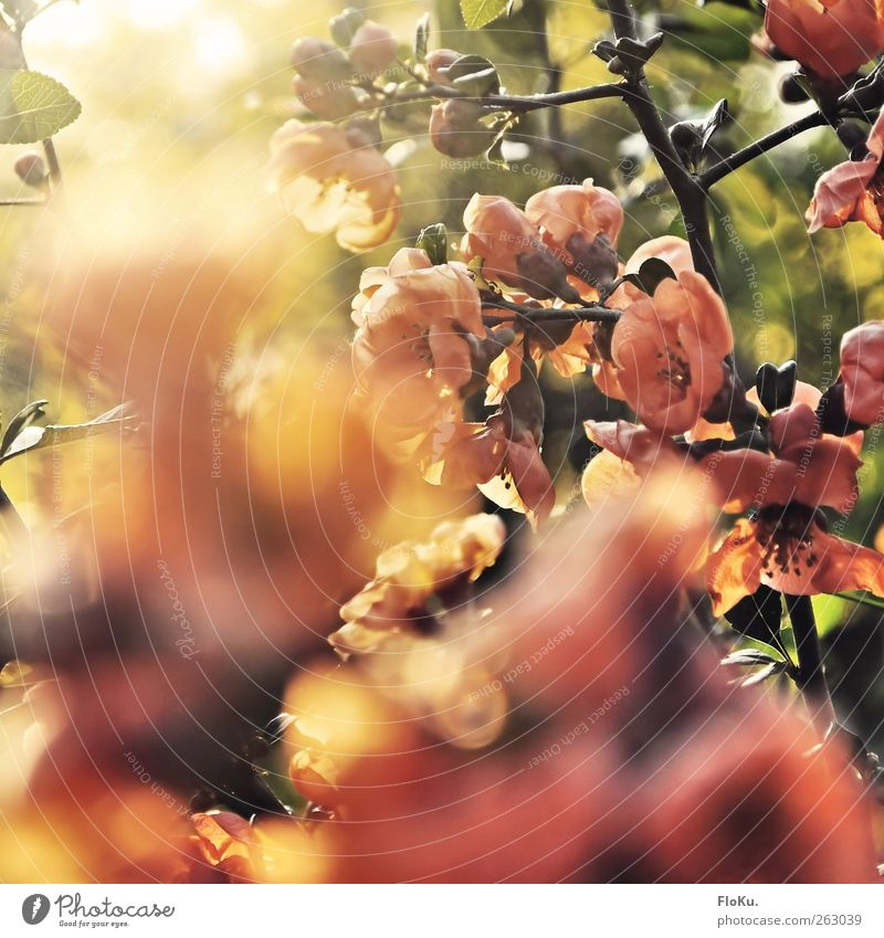 Blütenpracht im Sonnenlicht Natur grün schön Pflanze Sonne Freude Blatt Umwelt Wärme Frühling Glück Garten Blüte Stimmung hell rosa
