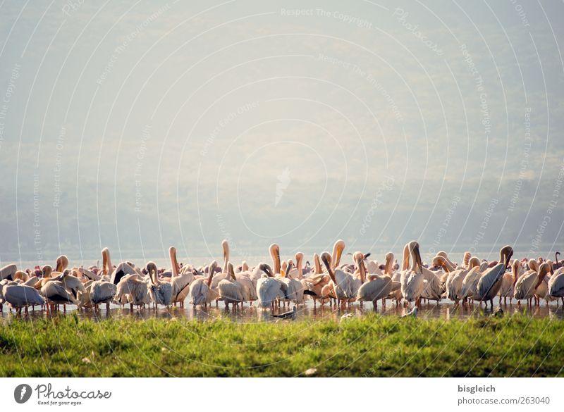 Pelikane IV grün Tier Vogel rosa stehen Afrika Schwarm Kenia