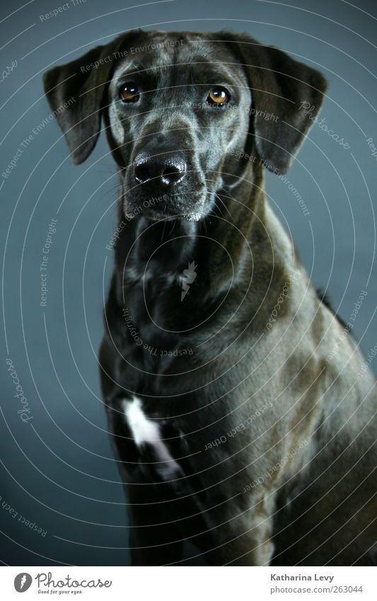ein Hundeleben blau Tier schwarz braun elegant ästhetisch Neugier Fell Tiergesicht rein Wachsamkeit Haustier Überwachung Labrador Begleiter