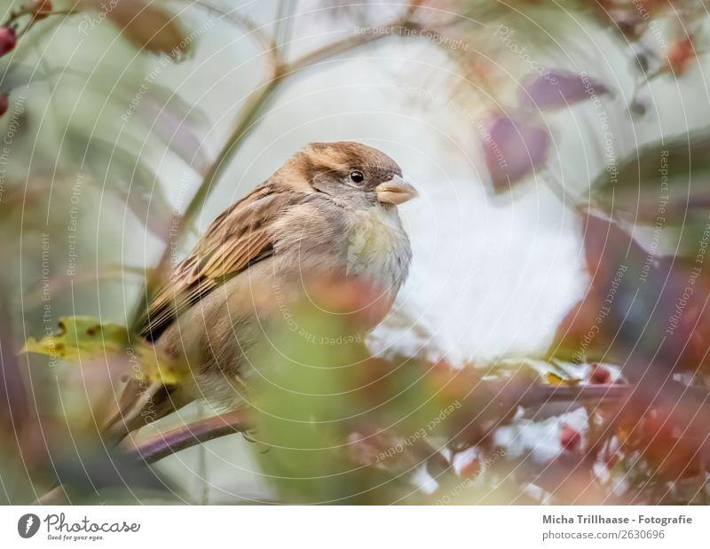 Spatz hinter Herbstlaub Umwelt Natur Tier Sonnenlicht Schönes Wetter Baum Blatt Wildtier Vogel Tiergesicht Flügel Krallen Sperlingsvögel Schnabel Feder 1