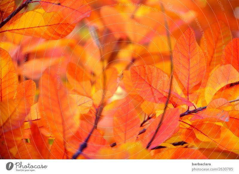 Orangeroter Perückenstrauch Natur Pflanze Sonne Herbst Klima Schönes Wetter Baum Sträucher Blatt Zweige u. Äste leuchten hell Wärme gelb orange Gefühle Stimmung