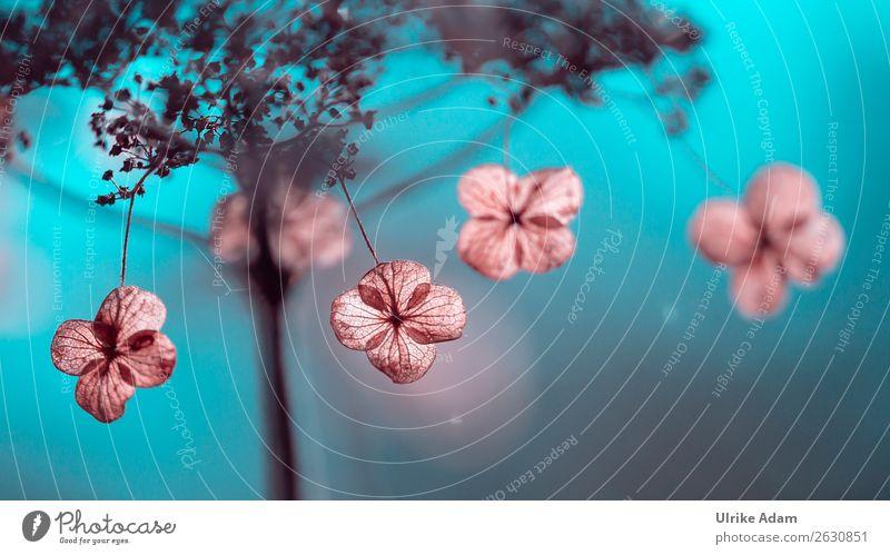 Verblühte Hortensien Natur Pflanze blau Blume Winter Herbst Blüte Traurigkeit Garten rosa Dekoration & Verzierung Park leuchten Vergänglichkeit weich Trauer