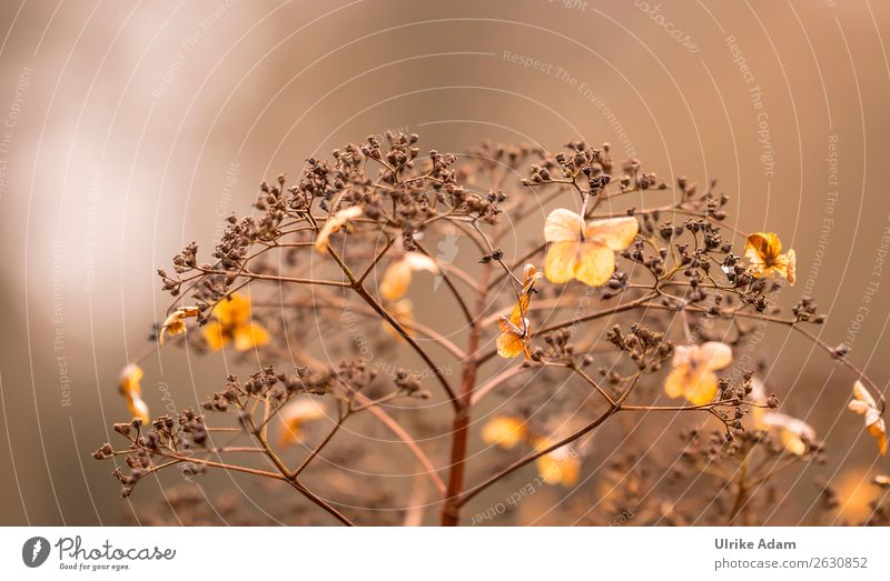 Verblühte Hortensien Natur Pflanze Blume Herbst Blüte Traurigkeit Garten braun Dekoration & Verzierung Vergänglichkeit weich Trauer Wellness zart verblüht