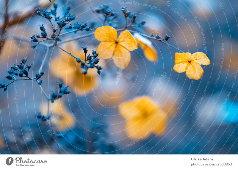 Verblühte Hortensien - Natur Design Wellness harmonisch Wohlgefühl Zufriedenheit Erholung ruhig Meditation Spa Dekoration & Verzierung Tapete Trauerkarte