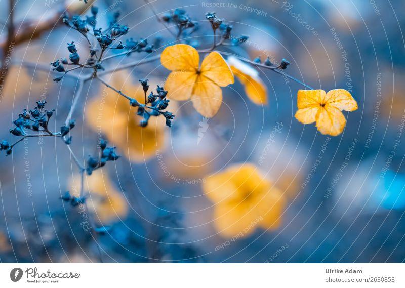Verblühte Hortensien Natur Pflanze blau Blume Erholung ruhig Winter Herbst Blüte natürlich Garten orange Design Zufriedenheit Dekoration & Verzierung leuchten