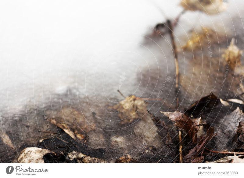 Eingefroren Natur Winter Eis Frost Blatt Seeufer braun weiß Farbfoto Außenaufnahme Textfreiraum links Textfreiraum oben Schwache Tiefenschärfe